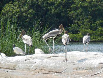 Storks of Mysore.jpg