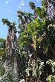 Strelitzia alba MS 9128.jpg