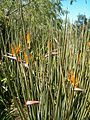 Strelitzia juncea KirstenboshBotGard09292010D.JPG