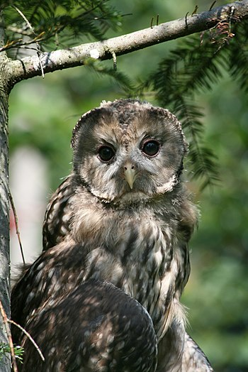 Description: The Tawny Owl (Strix aluco) is a ...