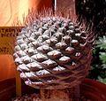 Strombocactus disciformis 1e.jpg