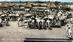 Camels in Al-Ubayyid (early 1960s)