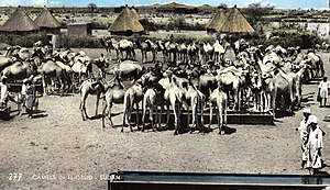 North Kordufan - Postcard featuring camels in Al-Ubayyid (1966)