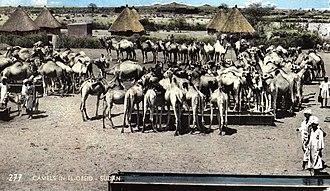 North Kordufan - Postcard featuring camels in Al-Ubayyid (1966)