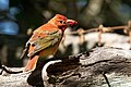 Summer Tanager (1st year male) Sabine Woods High Island TX 2018-04-26 09-54-20 (27221358477).jpg