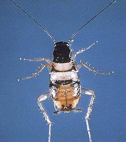 Supella longipalpa cdc.jpg