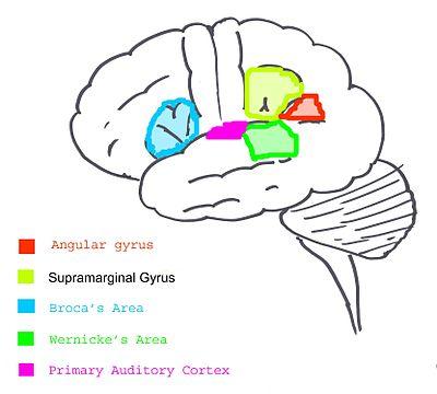 Gehirn und Sprache: Die Evolution des Großhirns – Wikibooks ...
