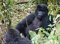 Susa group, mountain gorillas - Flickr - Dave Proffer (4).jpg