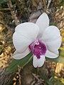 Suvarnabhumi Orchids Farm IMG 20160322 080430 (27170412070).jpg