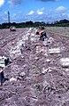 Sweet potato harvest Florida fs864795.jpg