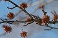 Sweetgum tree seed pods.jpg