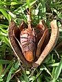 Swietenia mahagoni (West Indian mahogany)— woody capsule containing numerous winged seeds 02.jpg
