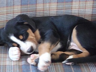 Greater Swiss Mountain Dog - The coloration on a puppy