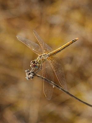 Sympetrum sanguineum (Ruddy darter), female; Cap Leucate