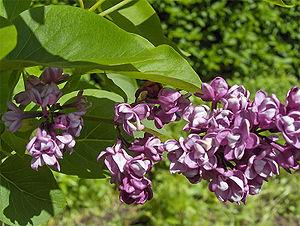 Syringa vulgaris - Image: Syr.vulg.Charles Joly