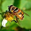 Syrphid Fly (Palpada sp.) (7558922774).jpg
