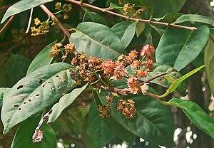 Syzygium polyanthum - Image: Syzy polyan 070404 3396 sbrg