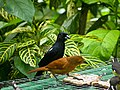 Tachyphonus rufus -Asa Wright Nature Centre, Northern Range, Trinidad, Trinidad and Tobago -pair-8a.jpg