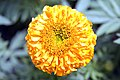 Tagetes erecta Antigua Orange 5zz.jpg