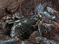 Taleporia tubulosa ♂ - Large birch bright (male) (42987596011).jpg