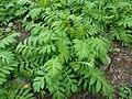 Tanacetum macrophyllum 2017-04-17 7612.jpg