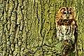 Tawny Owl (23094551144).jpg