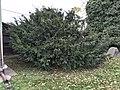 Taxus Baccata.jpg