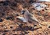 Tejedor republicano (Philetairus socius), Sossusvlei, Namibia, 2018-08-06, DD 172.jpg