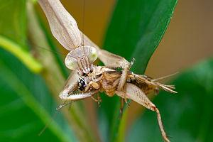 """""""Tenodera sinensis"""" Chinese mantis"""