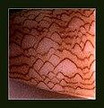 Textile Cone Shell - Conus textile.shell001.jpg