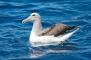 Salvin's albatross - Image: Thalassarche salvini SE Tasmania
