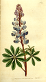 The Botanical Magazine, Plate 202 (Volume 6, 1793).png