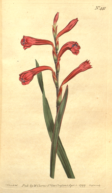 The Botanical Magazine, Plate 441 (Volume 13, 1799).png