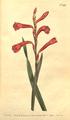 The Botanical Magazine, Plate 441 (Volume 13, 1799).png