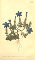 The Botanical Magazine, Plate 491 (Volume 14, 1800).png