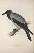 The birds of Europe (1837) (14771867143).jpg