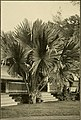 The ornamental trees of Hawaii (1917) (14765619072).jpg