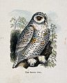 The snowy owl (Nyctea scandiaca). Coloured engraving by Whim Wellcome V0022227EL.jpg