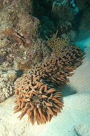 Thelenota ananas, a sea cucumber (phylum: Echinodermata)
