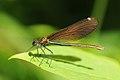 Thomas Bresson - Calopteryx virgo-1 (by).jpg
