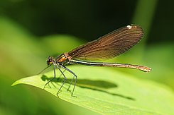 Thomas Bresson - Calopteryx virgo-1 (by).jpg