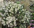 Thymus vulgaris 4 (Espagne).JPG