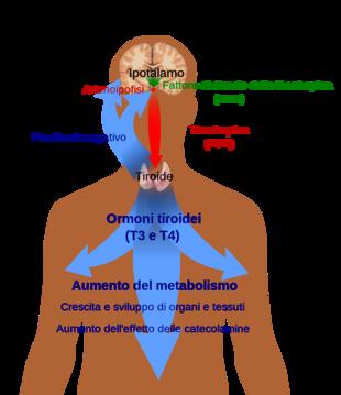 Schema dell'asse ipotalamo-ipofisi-tiroide. L'ipotalamo secerne TRH (verde), che stimola la produzione di TSH (rosso) da parte dell'ipofisi. Questa, a sua volta, stimola la produzione di tiroxina da parte della tiroide (blu). I livelli di tiroxina diminuiscono la produzione di TRH e TSH grazie ad un processo di feedback negativo.