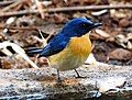 Tickell's Blue Flycatcher Cyornis tickelliae by Dr. Raju Kasambe DSCN9986 (4).jpg