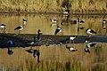 Tidbinbilla geese.jpg