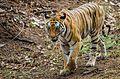 Tiger of Bandhavgarh.jpg