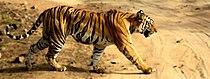 Tigress in Bandhavgarh NP.jpg