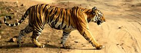 Image illustrative de l'article Parc national de Bandhavgarh
