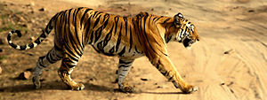 Tigress in Bandhavgarh NP.jpg