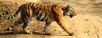 Bandhavgarh National Park - Image: Tigress in Bandhavgarh NP